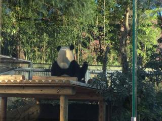 パンダ後ろ向き
